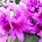 Рододендрон, розовые садовые цветы