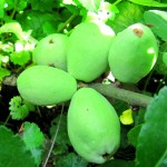Айва зеленая