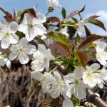 Ветка вишни цветущая вишня