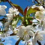 Ветка вишни, вишня весной, цветущая вишня
