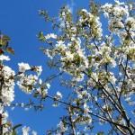 Цветущая вишня, вишня на синем небе