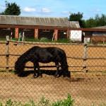Конюшня, лошадь, Щелковский район