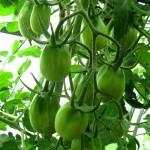 Куст помидоров зеленых