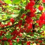 Смородина красная, кустарник смородины