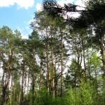 Сосны, сосновый лес