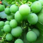 Виноград дачный, зеленый виноград