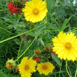 кореопсис, желтые цветы, как ромашки