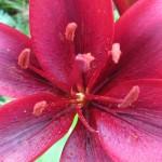 лилия, красивая лилия, лилия макросъемка