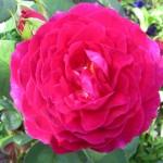 роза, алая роза, кустовая роза алая