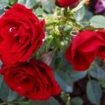 роза, красная роза, куст красных роз