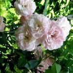 розовые розы, куст розовых роз
