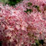 Спирея, мелкие, розовые цветочки