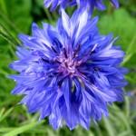 василек, синий цветочек