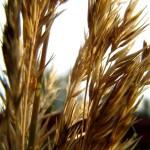 злаковая трава, пушистая травка